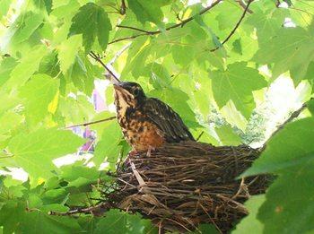 Babybird_2